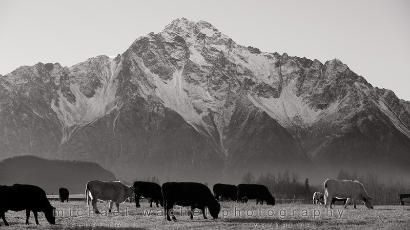 Cows in Palmer, Alaska with family photographer, Michael Wachel.